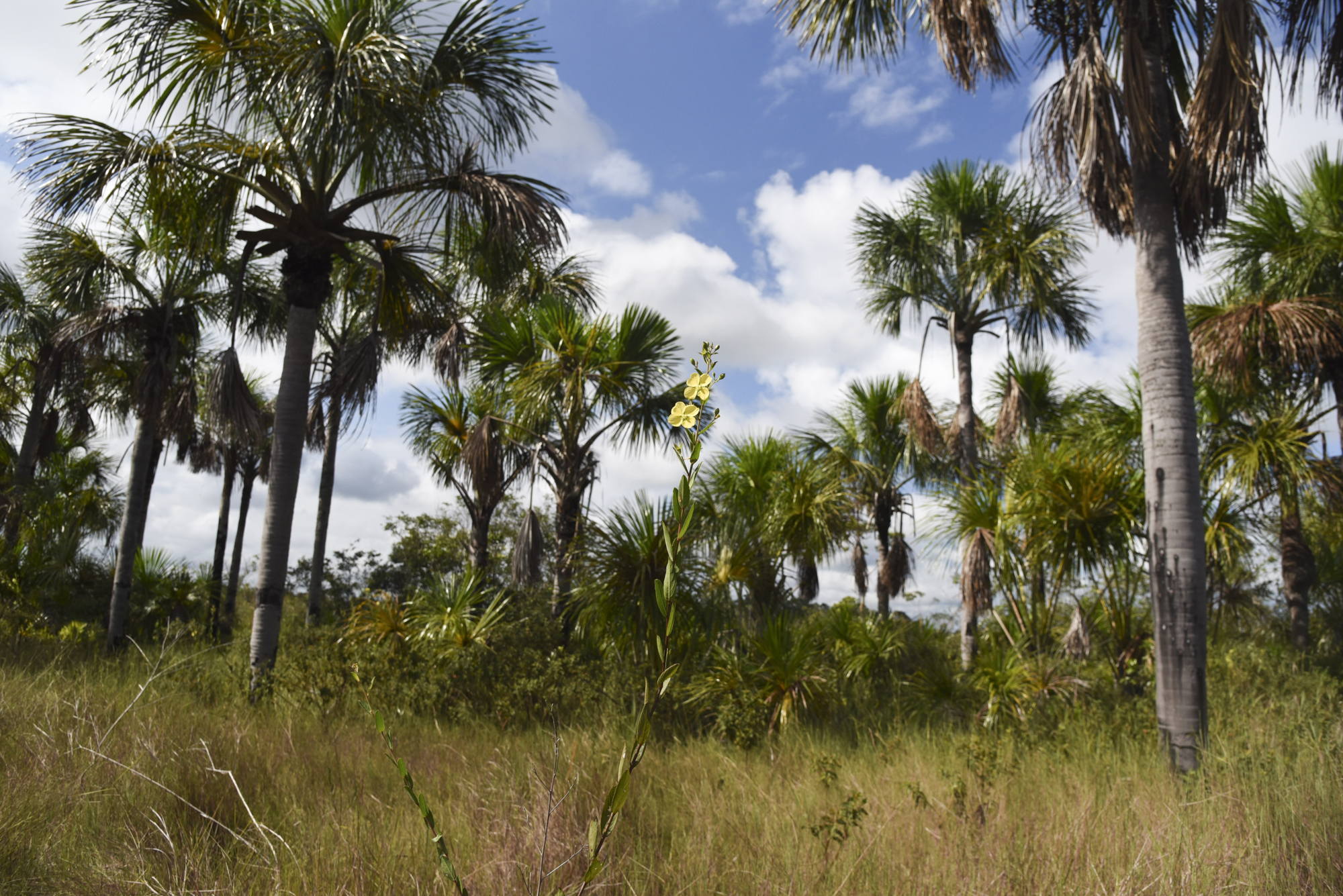 Clusters of palm trees provide ideal habitat for some Pampas' birds such as parrots, parquets and the White woodpecker.