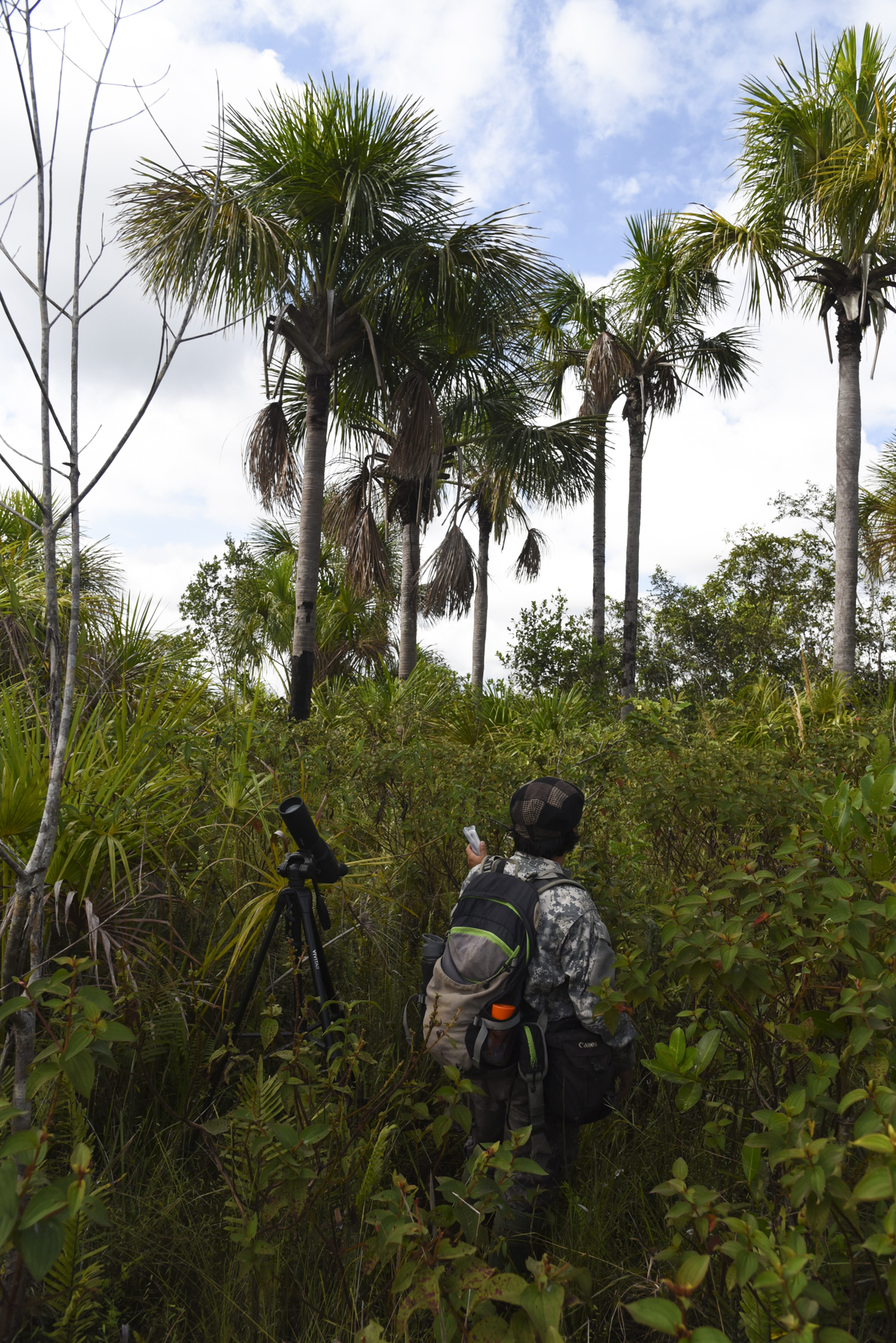 Hoping to draw out the charismatic and endemic White woodpecker, Yohamir plays a recorded call in a stretch of palm trees, their preferred habitat.