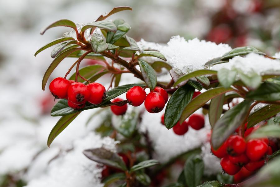 6/365  Macro berries in snow