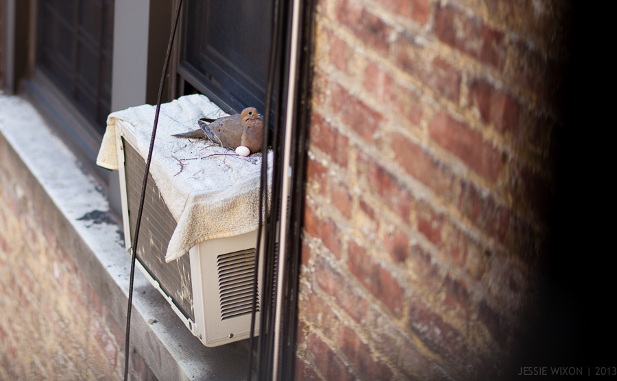 99/365  Back home in NYC to find a mourning dove and her egg on our A/C... sadly the story doesn't end well.