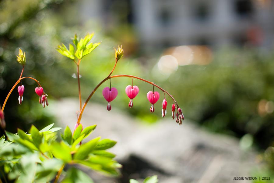 116/365  Bleeding hearts; a favorite flower of mine