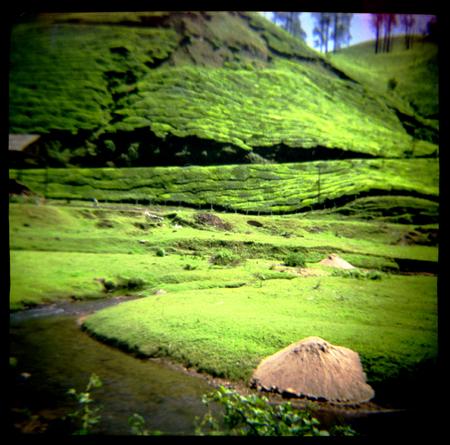 India Tea Fields