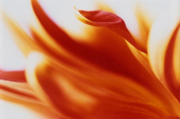 Chrysanthemum (Flame)