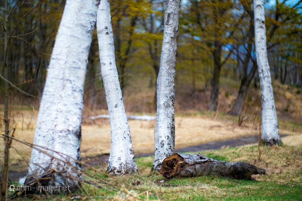 Fujifilm X-T1 hiking birch.jpg
