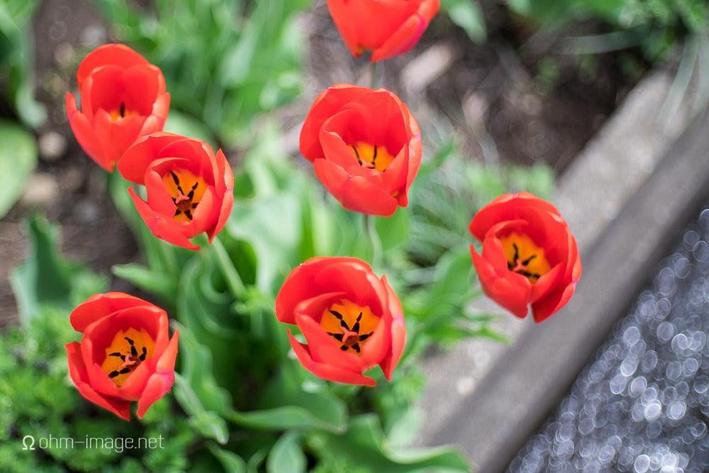 Fujifilm X-T1 hiking tulips 2.jpg