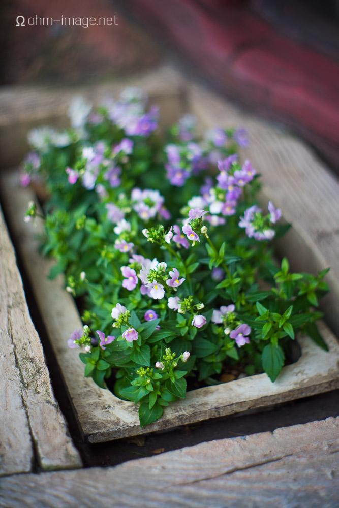 Summilux 50mm pre-asph flowers.jpg