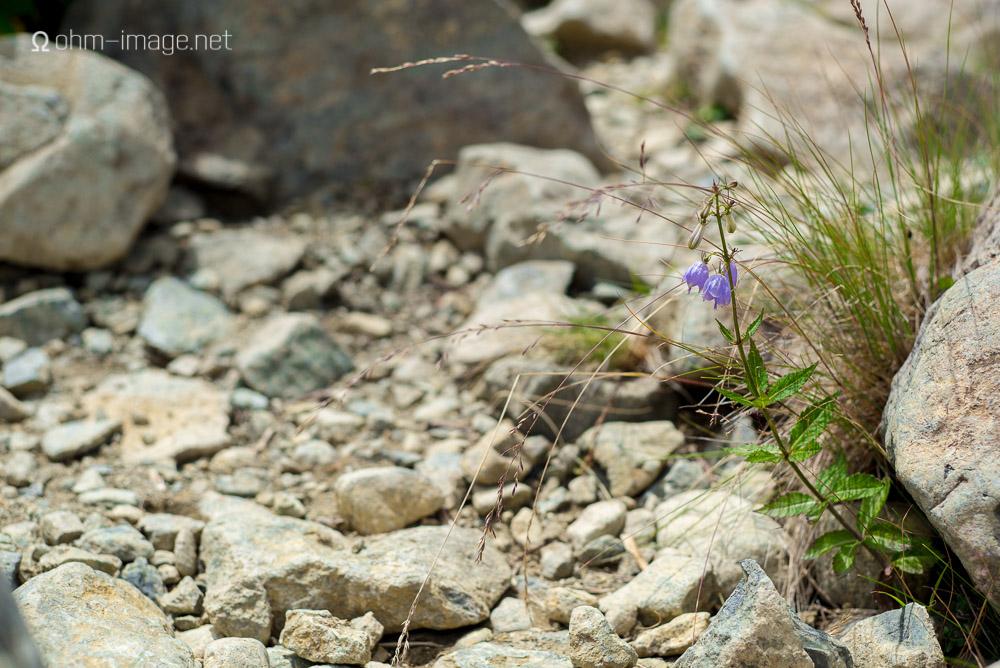 flowers - mountain bluebell.jpg