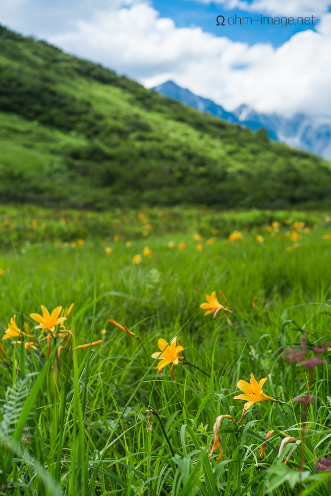 flowers - mountain lillies 1.jpg