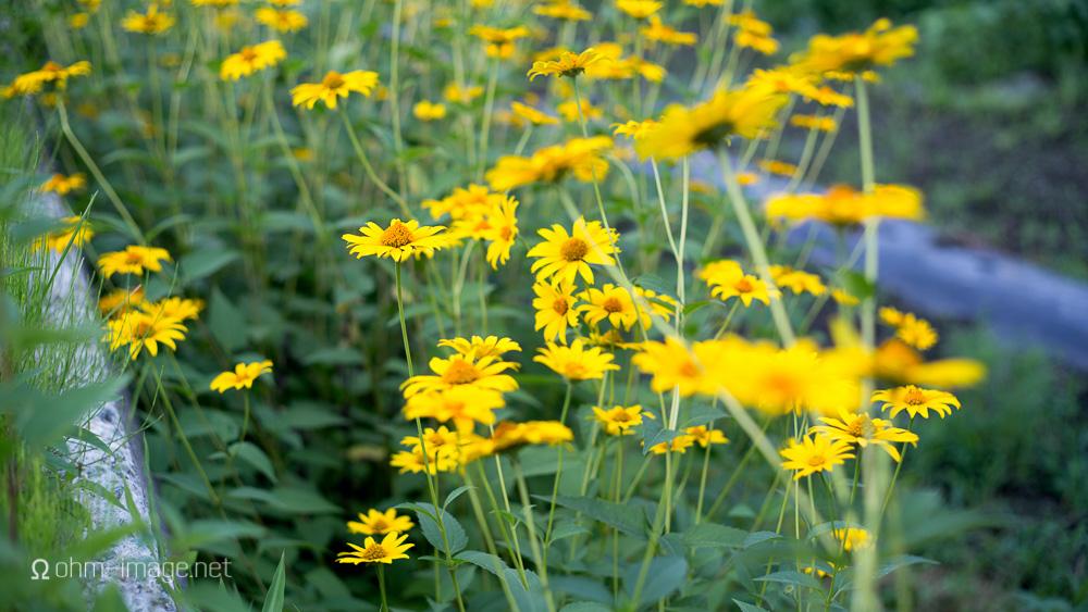 flowers - yellow daisies.jpg