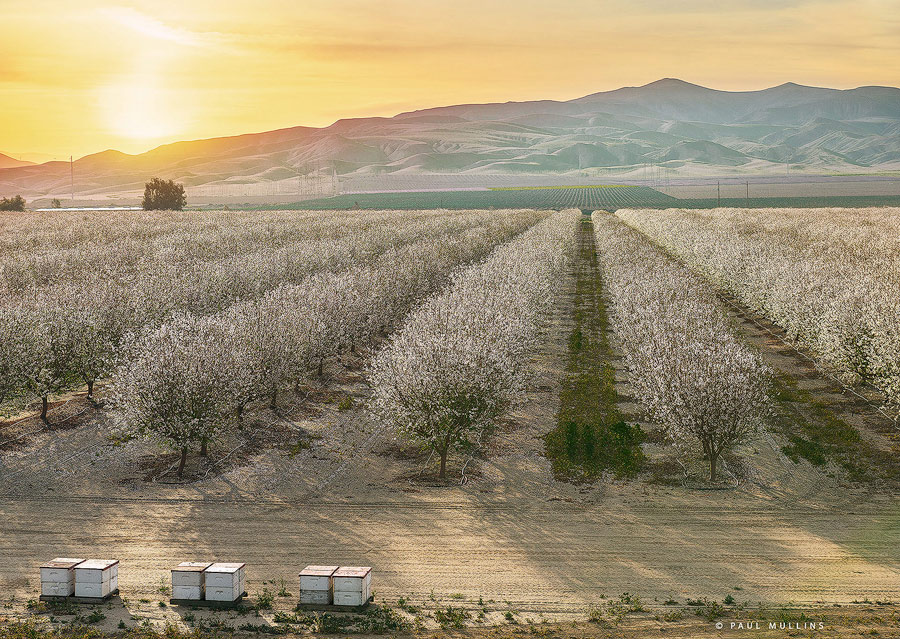 Almond trees photographed from a 24 foot high super giant stand