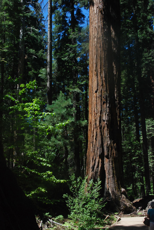 Sequoia's.jpg