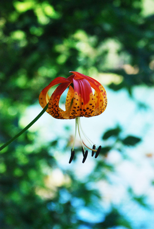 Wild Lily 2.jpg