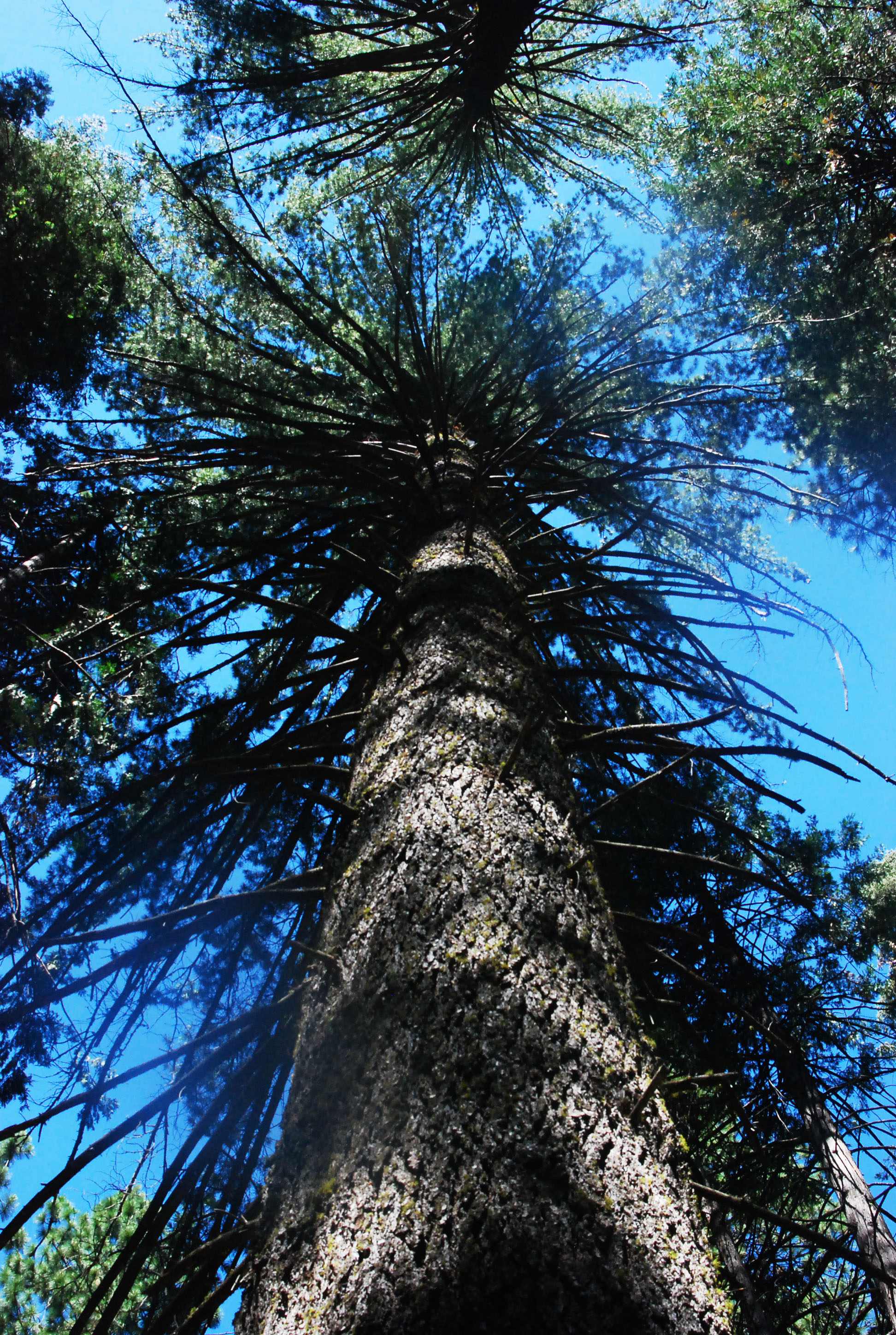 Big Trees Looking Up.jpg
