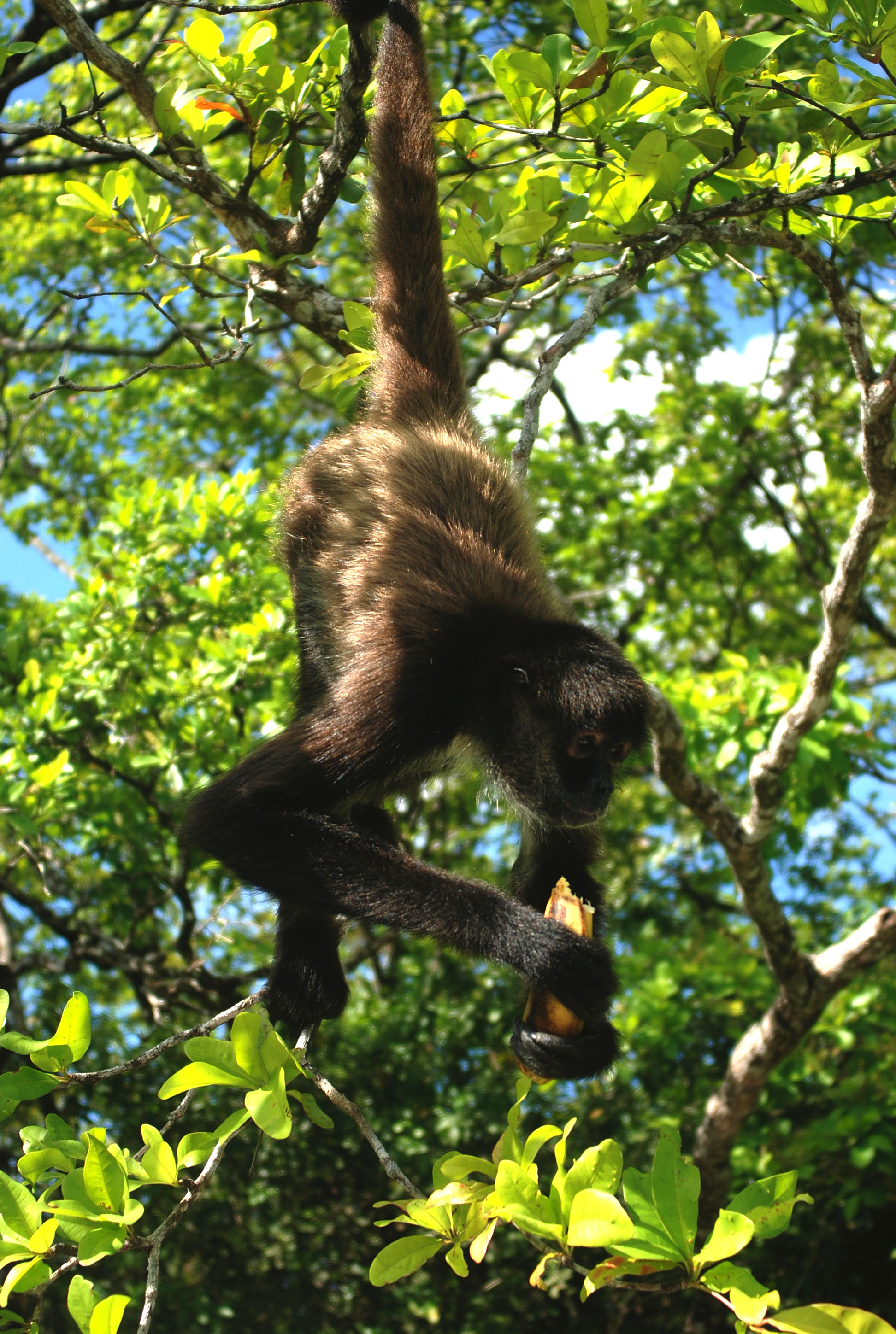 Spider Monkey eating plantain