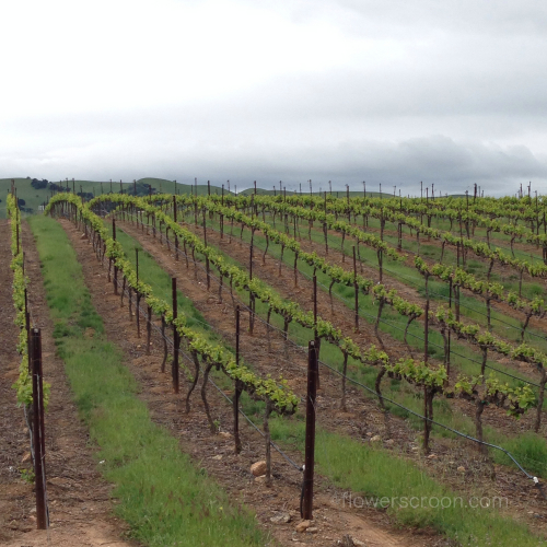 Beautiful grape vines
