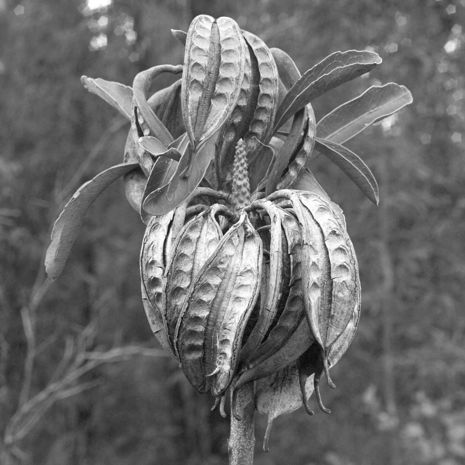 Warren-Hinder-Waratah-Seed-Pods.jpg