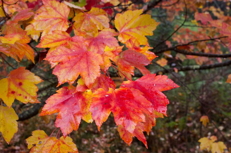 Warren-Hinder-Maple-Colour.jpg