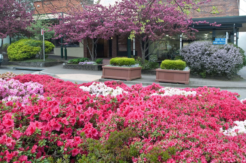 Warren-Hinder-Azalia-Blossoms-Leura.jpg