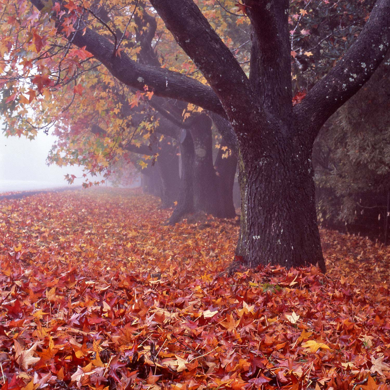 Warren-Hinder-Leura-Autumn-leaves.jpg