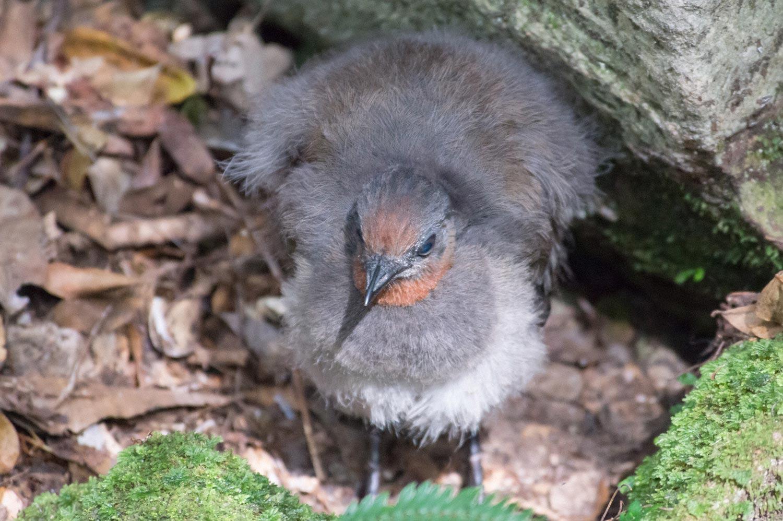Warren-Hinder-LR-Lyrebird-chick.jpg