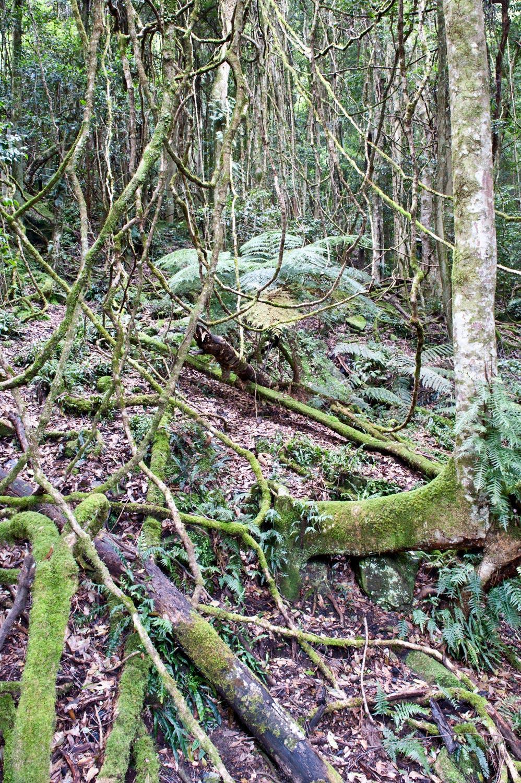Warren-Hinder-LR-Rainforest-Creeper-Detail.jpg