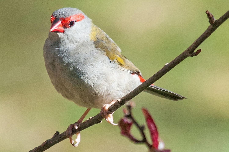 Warren-Hinder-LR-Red-Head-Finch.jpg