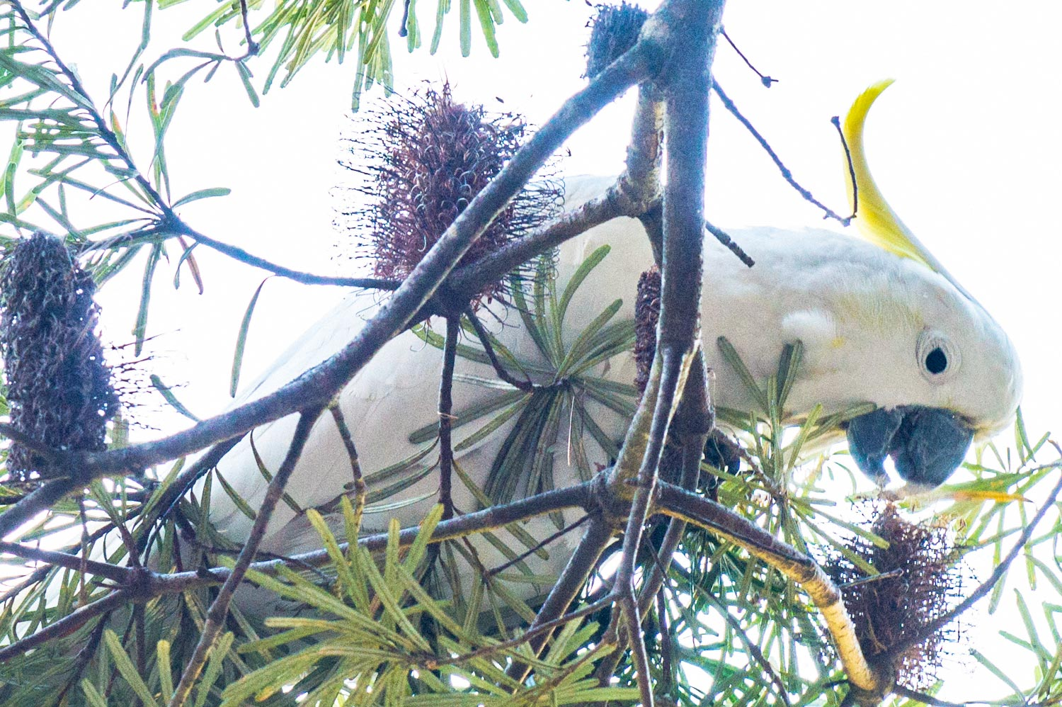 Warren-Hinder-Cockatoo-Feeding.jpg