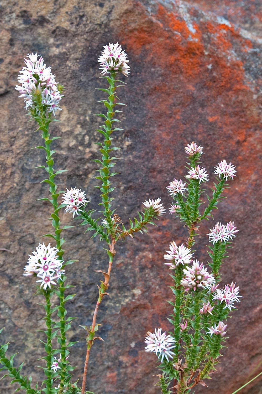 Warren-Hinder-Flower-and-Red-Rock-Study.jpg