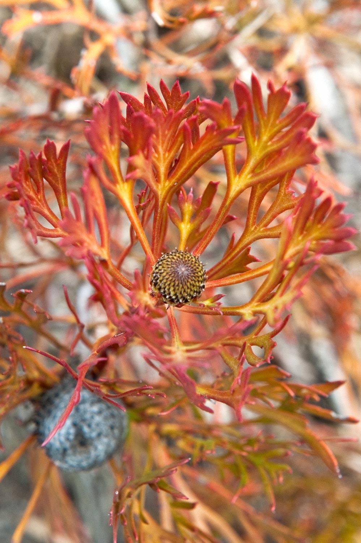 Warren-Hinder-Orange-Banksia-Mt-Hay.jpg