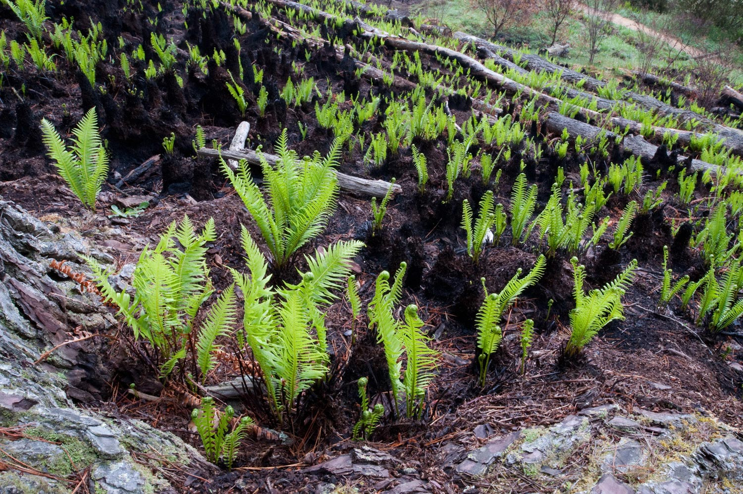 Warren-Hinder-LR-Ferns-after-the-Fires-Charles-Darwin-Walk.jpg