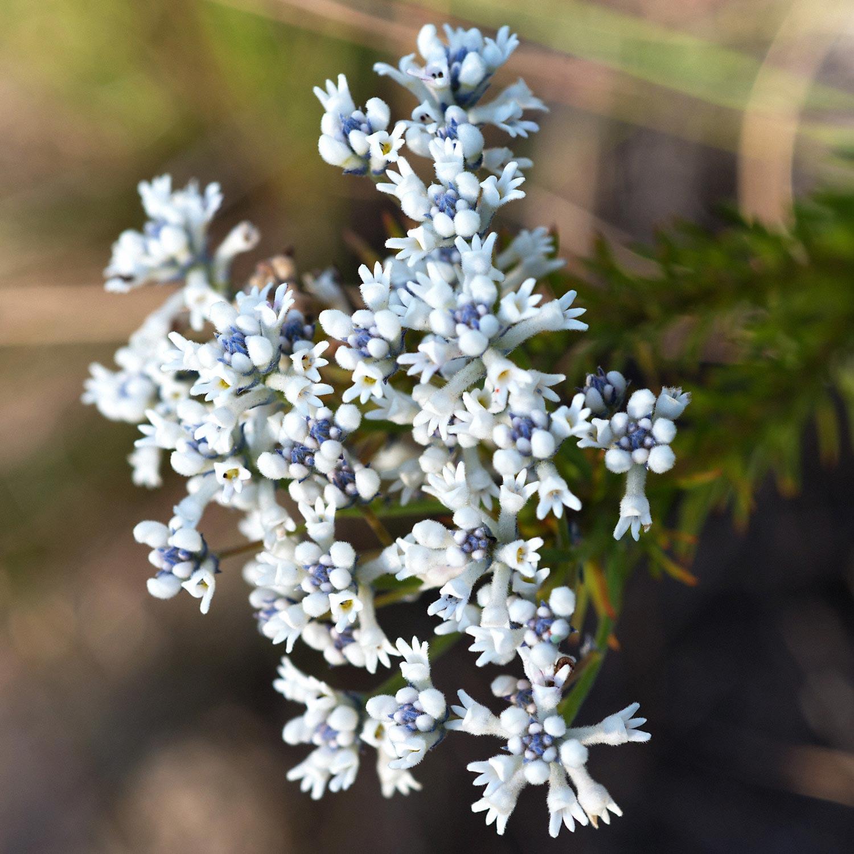 Warren-Hinder-LR-Purple-White-Flowers-Wentworth-Falls.jpg
