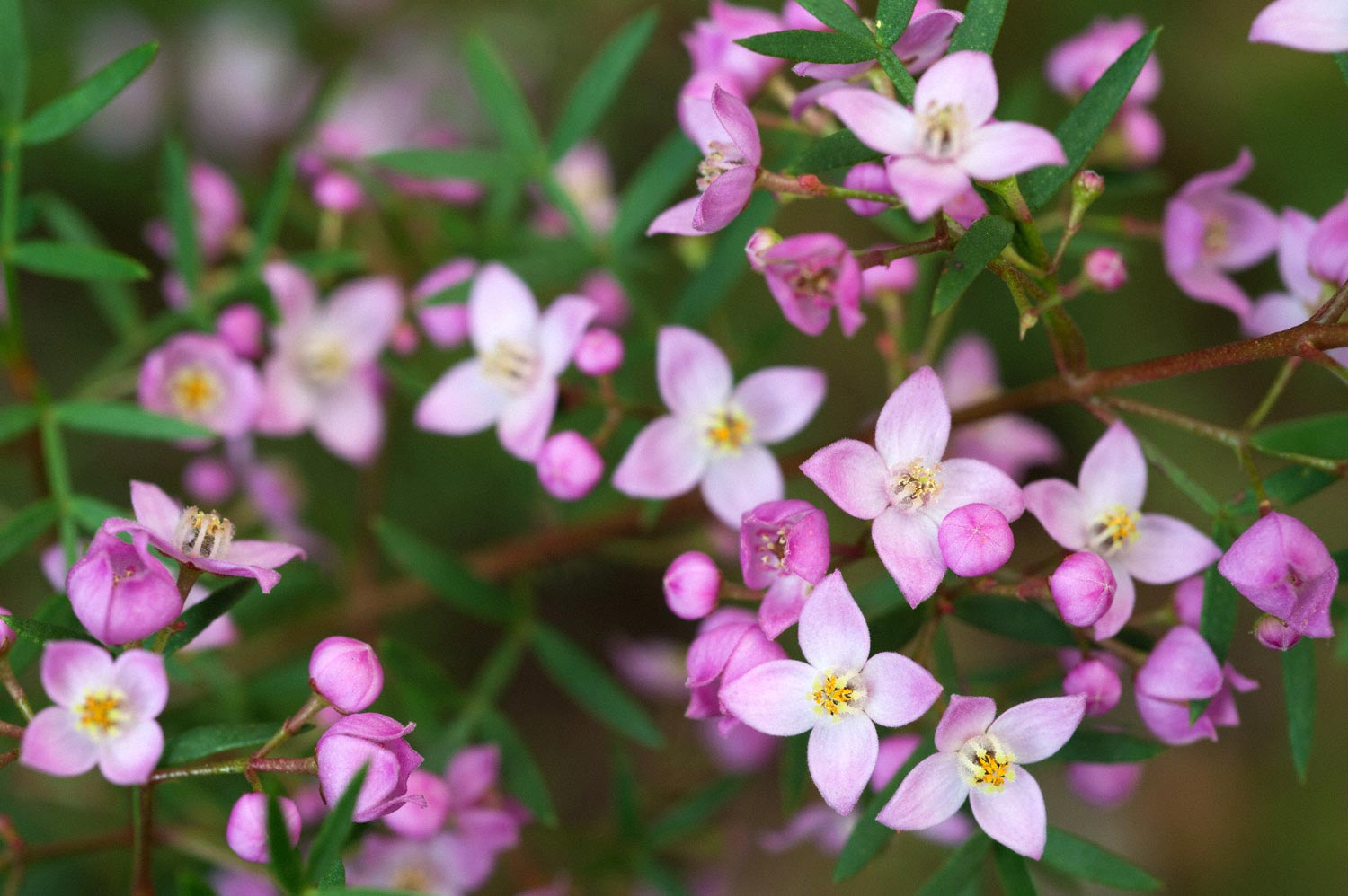 Warren-Hinder-LR-purple.Flowers.Wentworth.Falls.jpg