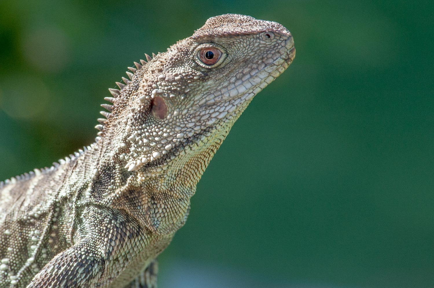 Warren-Hinder-LR-Eastern-Water-Dragon.jpg