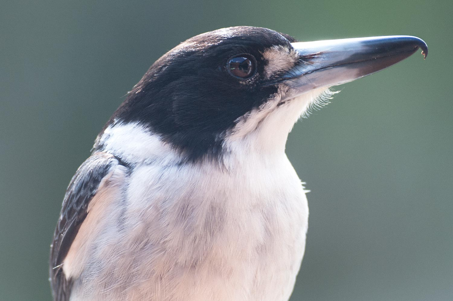 Warren-Hinder-Butcher-Bird-Wentworth-Falls.jpg