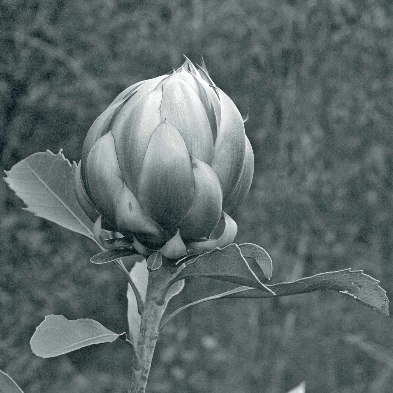Warren-Hinder-LR-Waratah-Flower.jpg