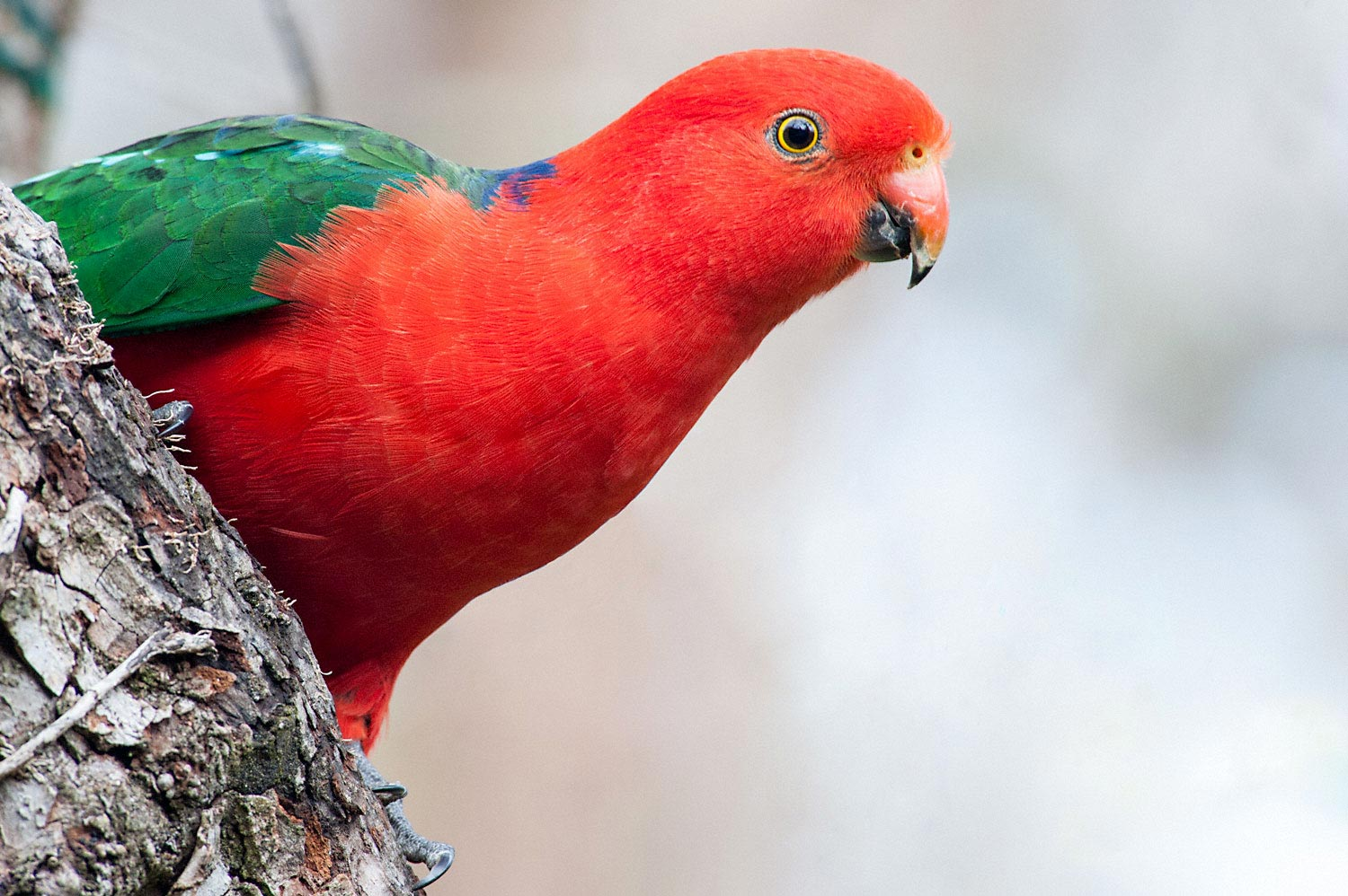 Warren-Hinder-LR-King-Parrot.jpg