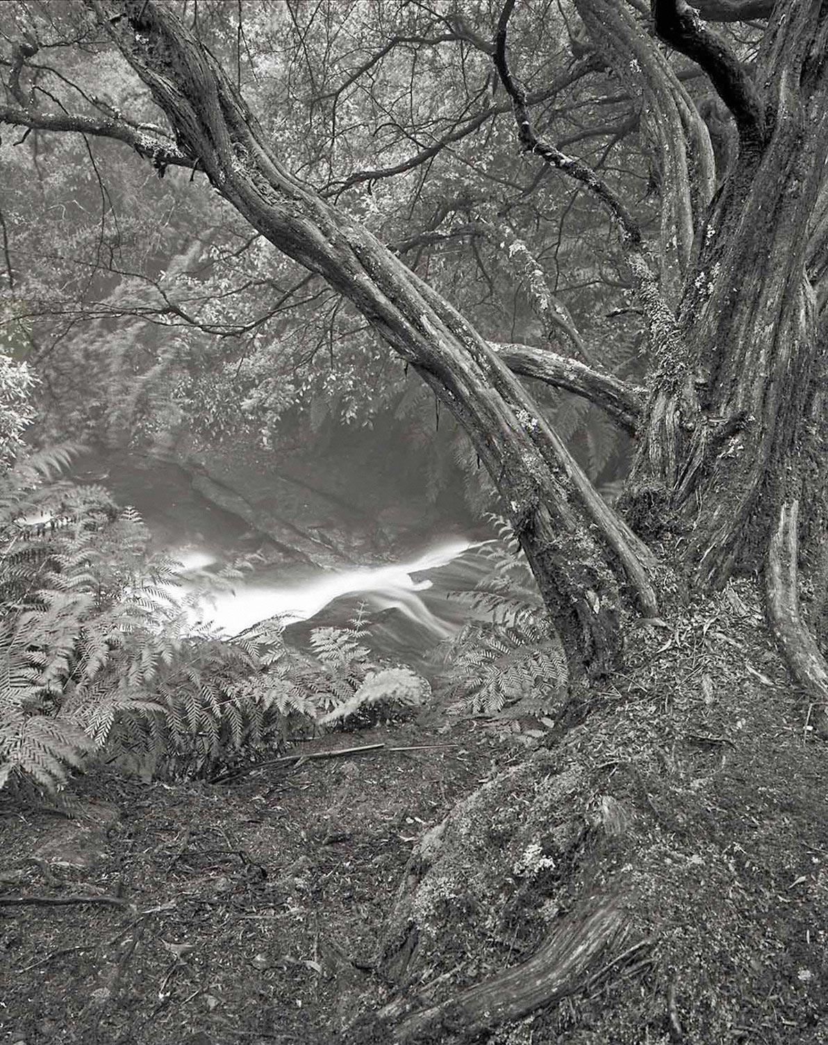 Warren-Hinder-Tree-Study-Leura-Cascades-Leura-NSW.jpg