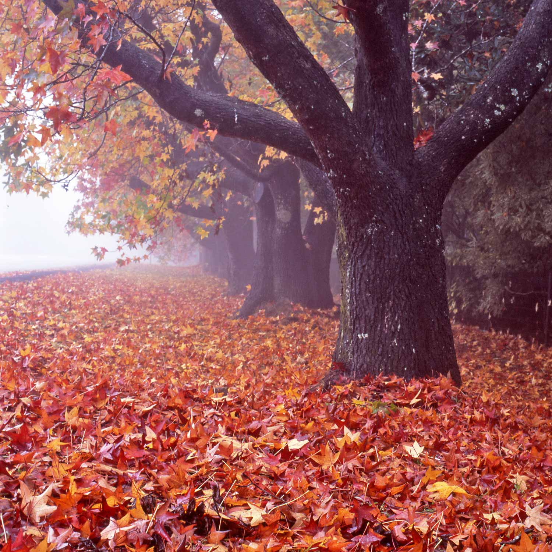 Warren-Hinder-LR-Leura-Autumn-leaves.jpg