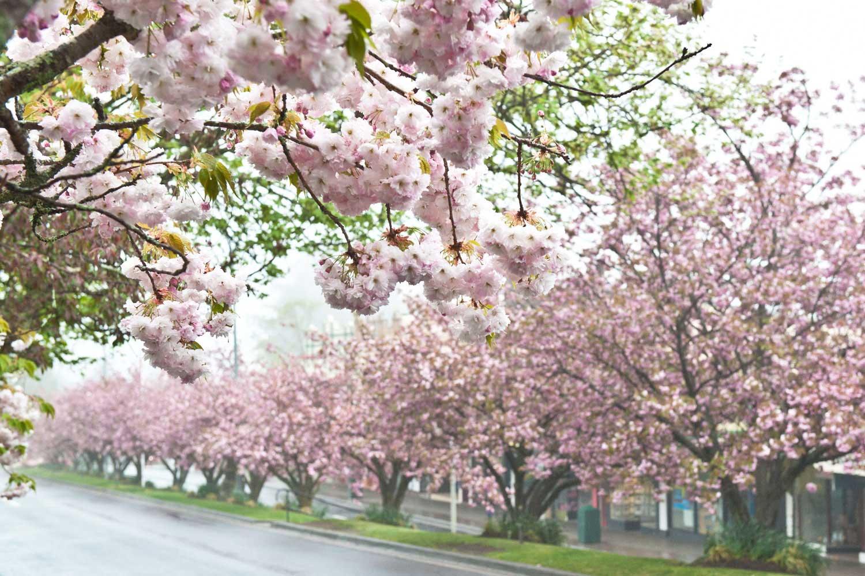 Warren-Hinder-LR-Cherry-Blossoms-Leura.jpg