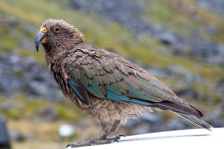 Kea South Island New Zealand