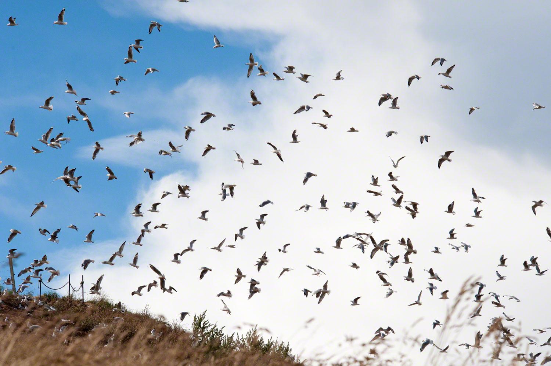 Warren-Hinder-LR-Flock-of-Gulls.jpg