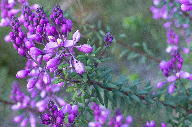 Comesperma.ericinum