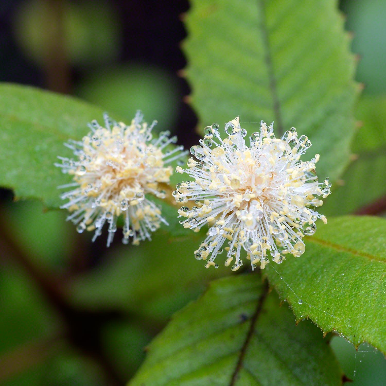 Callicoma australis