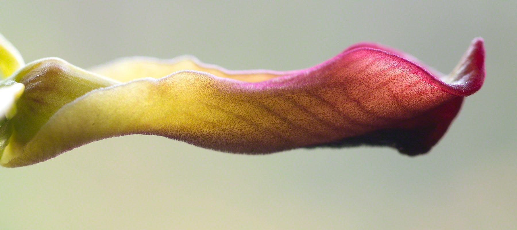 Cryptostylis subulata Long Tongue Orchid