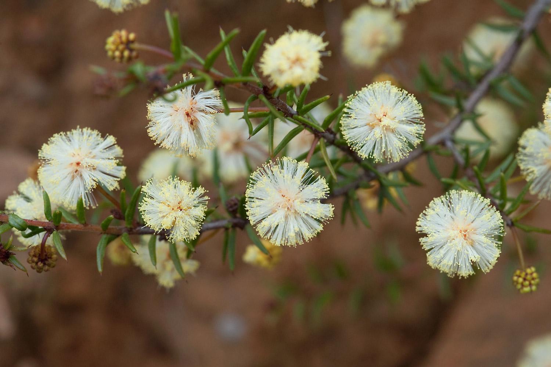 Acacia          Wattle