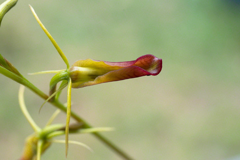 Warren-Hinder-Long-Tongue-Orchid.jpg