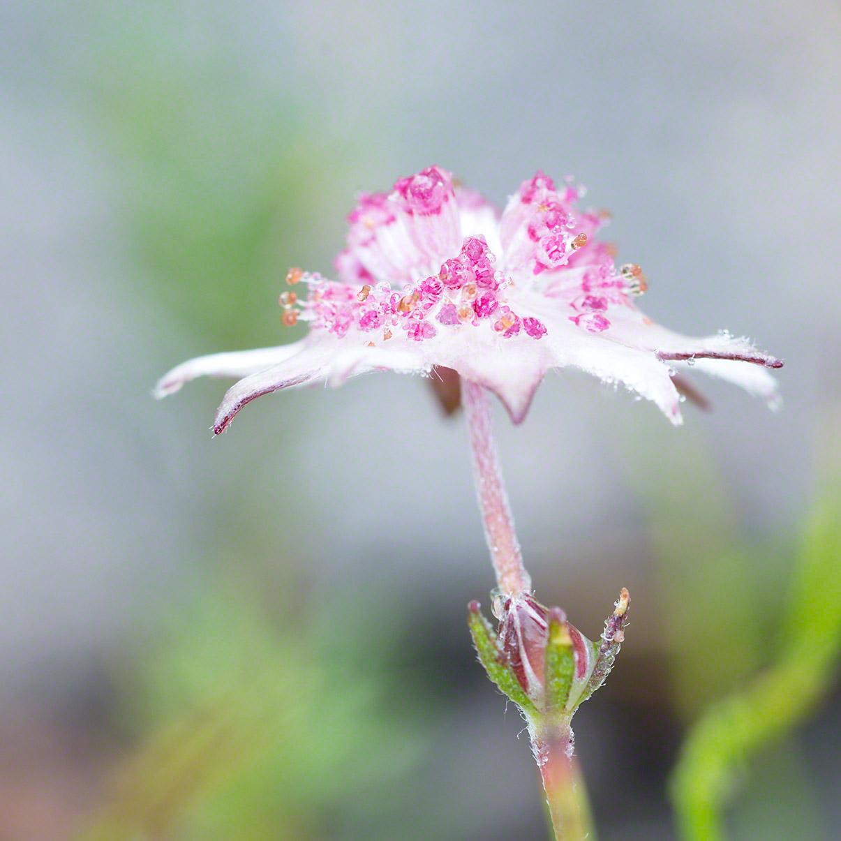 Warren-Hinder-Pink-Flannel-Flower-Copyright-2013.jpg