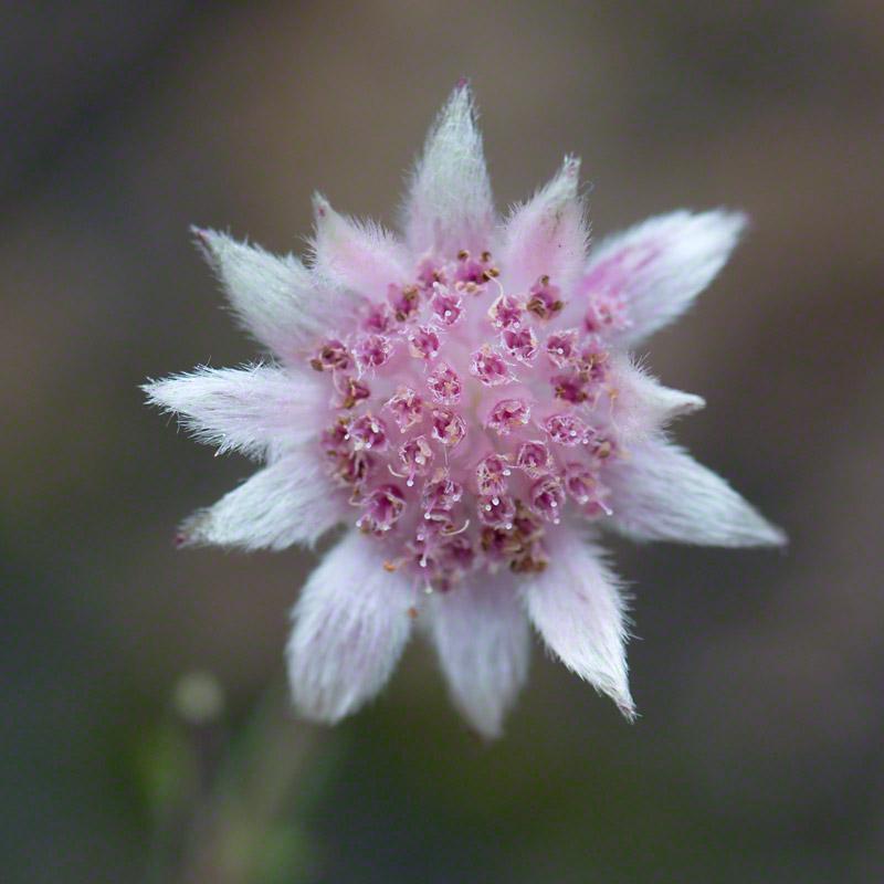 Actinotus.forsythii  Pink Flannel Flower