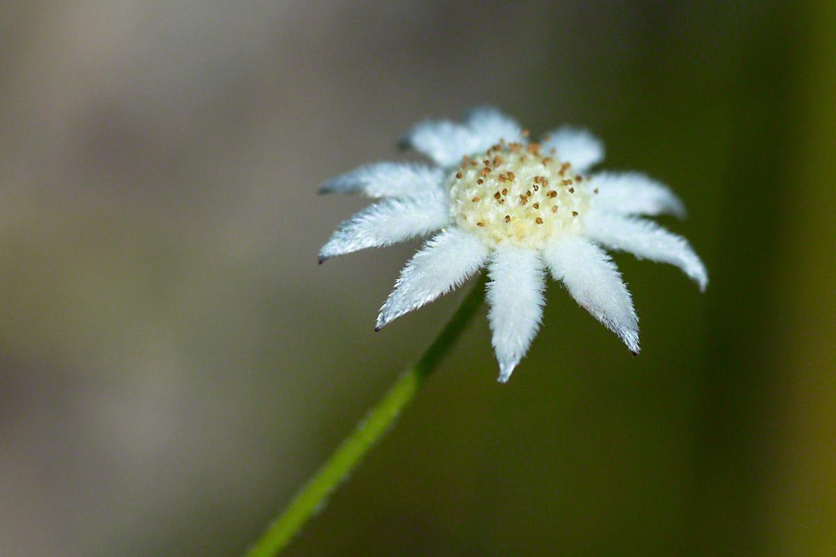 Actinotus.minor Small Flannel Flower