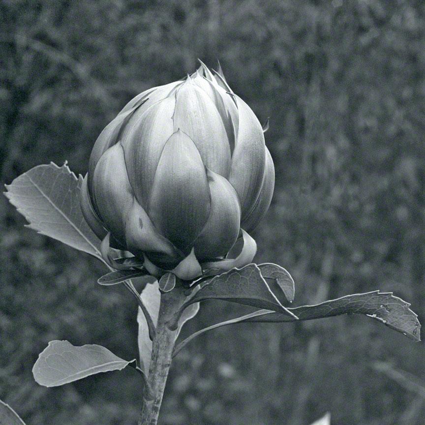 Warren-Hinder-JP-Waratah-Flower.jpg